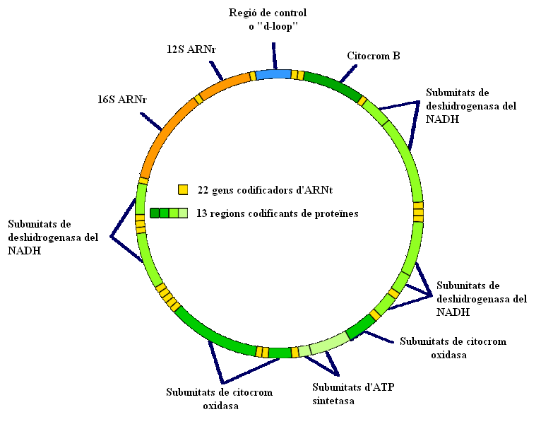 Ficheiromitochondrial dna cag wikipdia a enciclopdia livre ficheiromitochondrial dna cag ccuart Choice Image