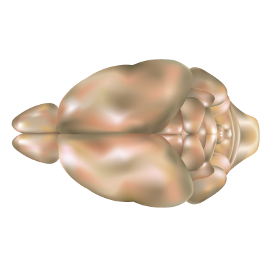 File:Mouse brain top view.png