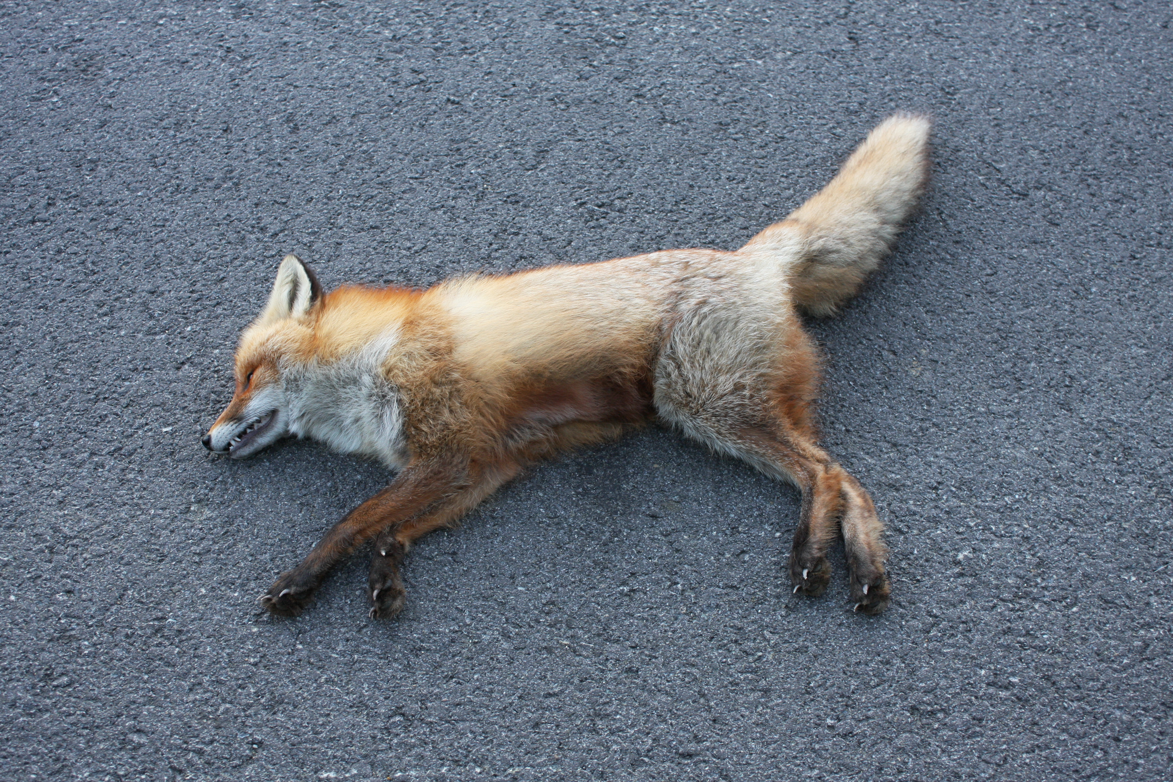 file norwegian red fox killed on the road p5 jpg