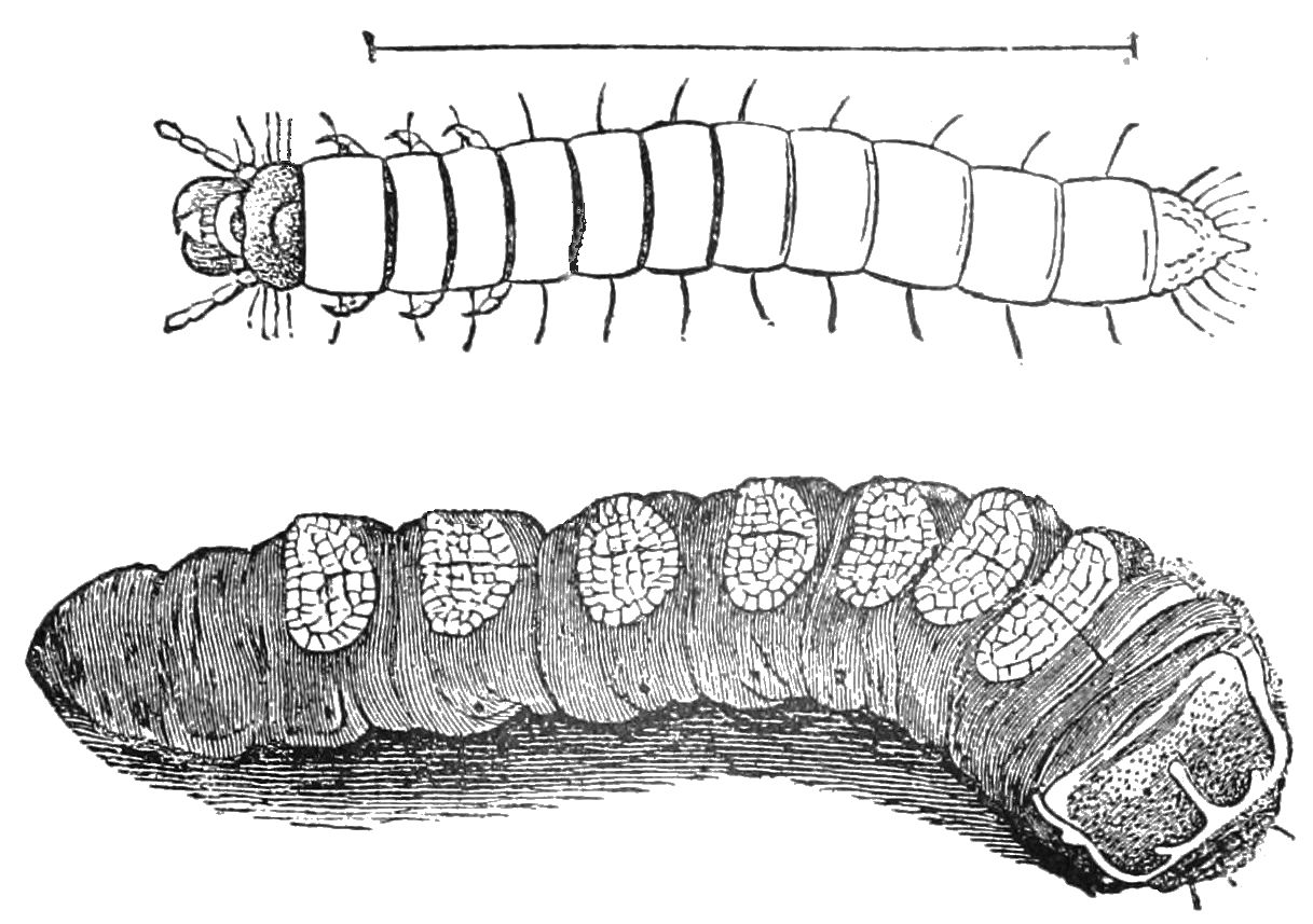 PSM V39 D237 Larva with articulated legs and apodus larva.jpg