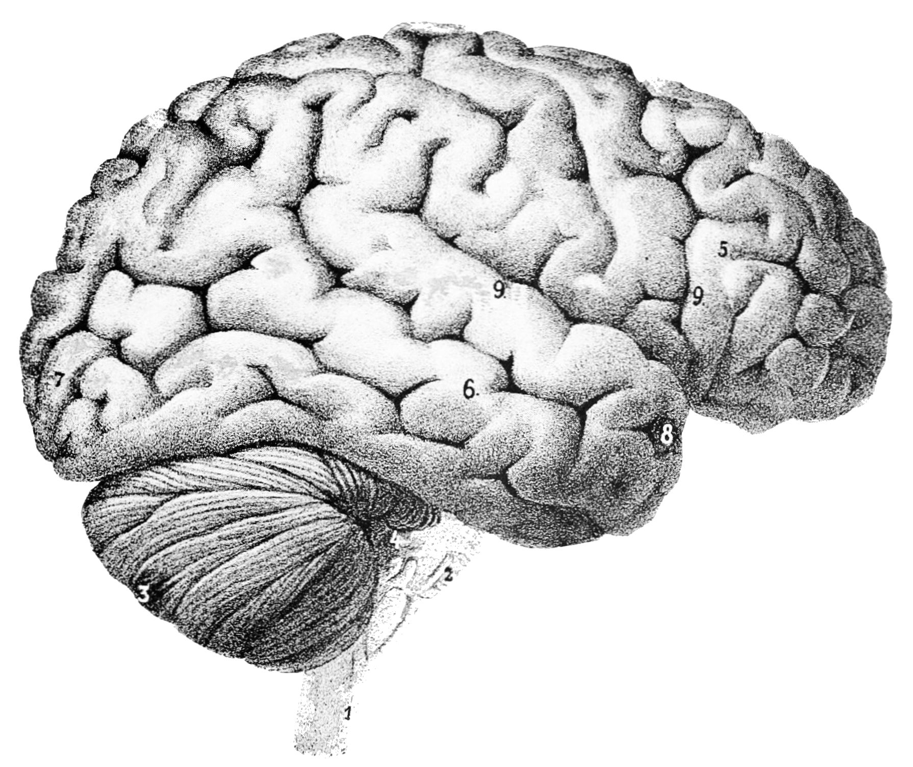 PSM_V46_D167_Outer_surface_of_the_human_brain.jpg (1790×1504)
