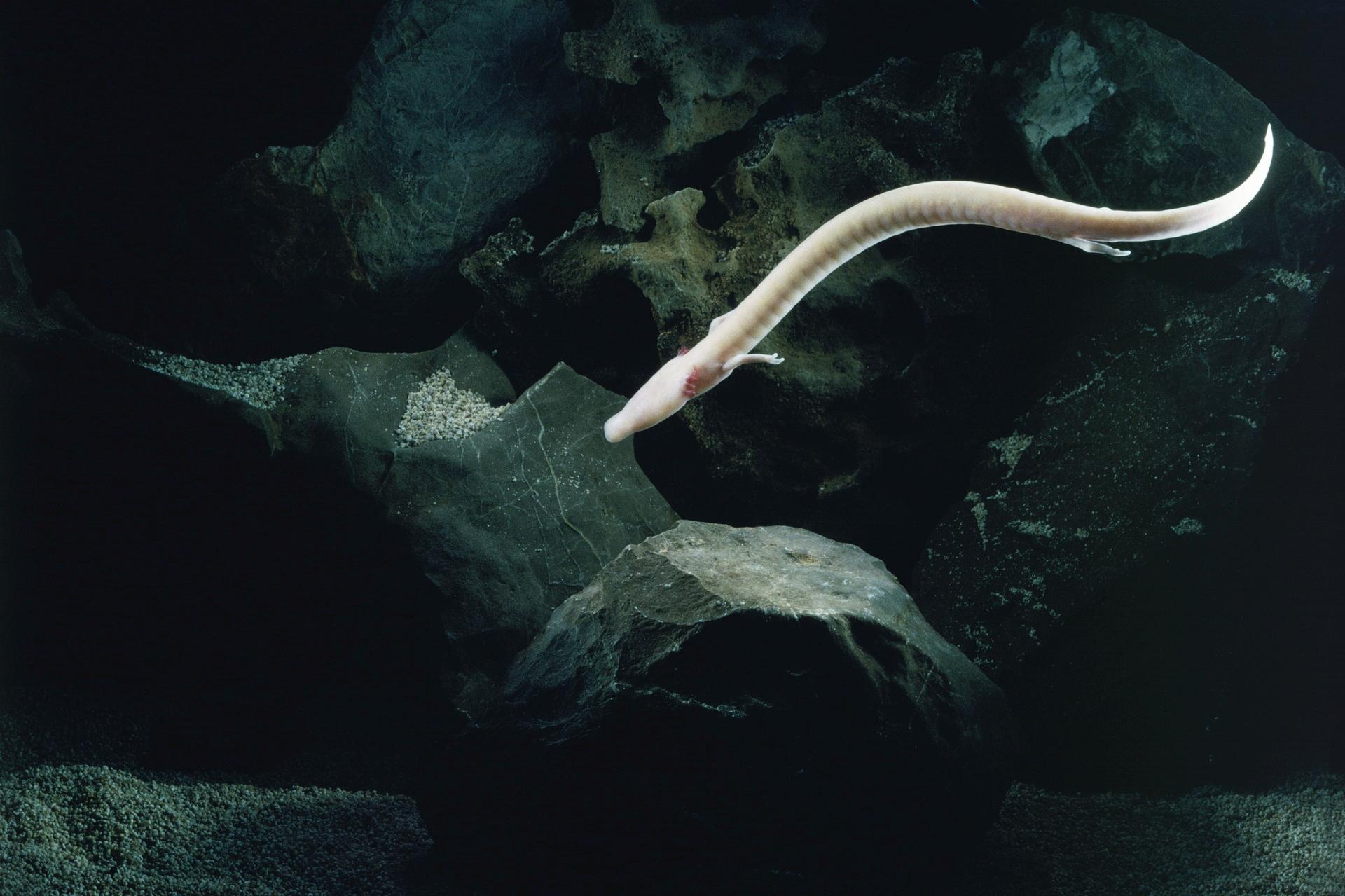 Cave Salamanders Live 100 Years P_anguinus1