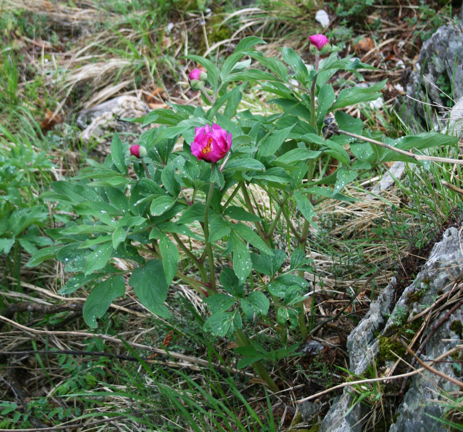 Shadows magick place hoodoo herbology peony root for Paeonia officinalis