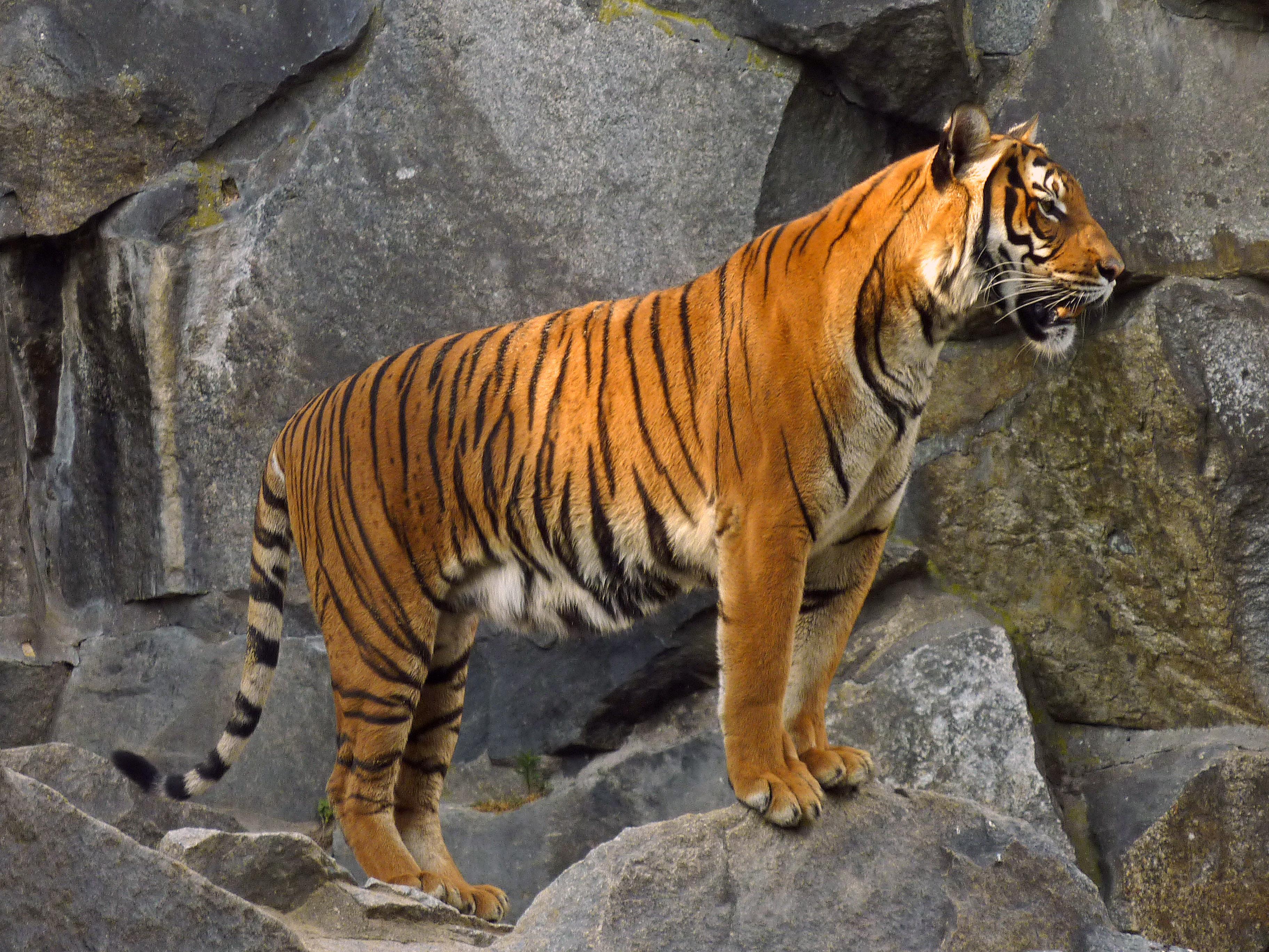 filepanthera tigris corbetti tierpark berlin 831713