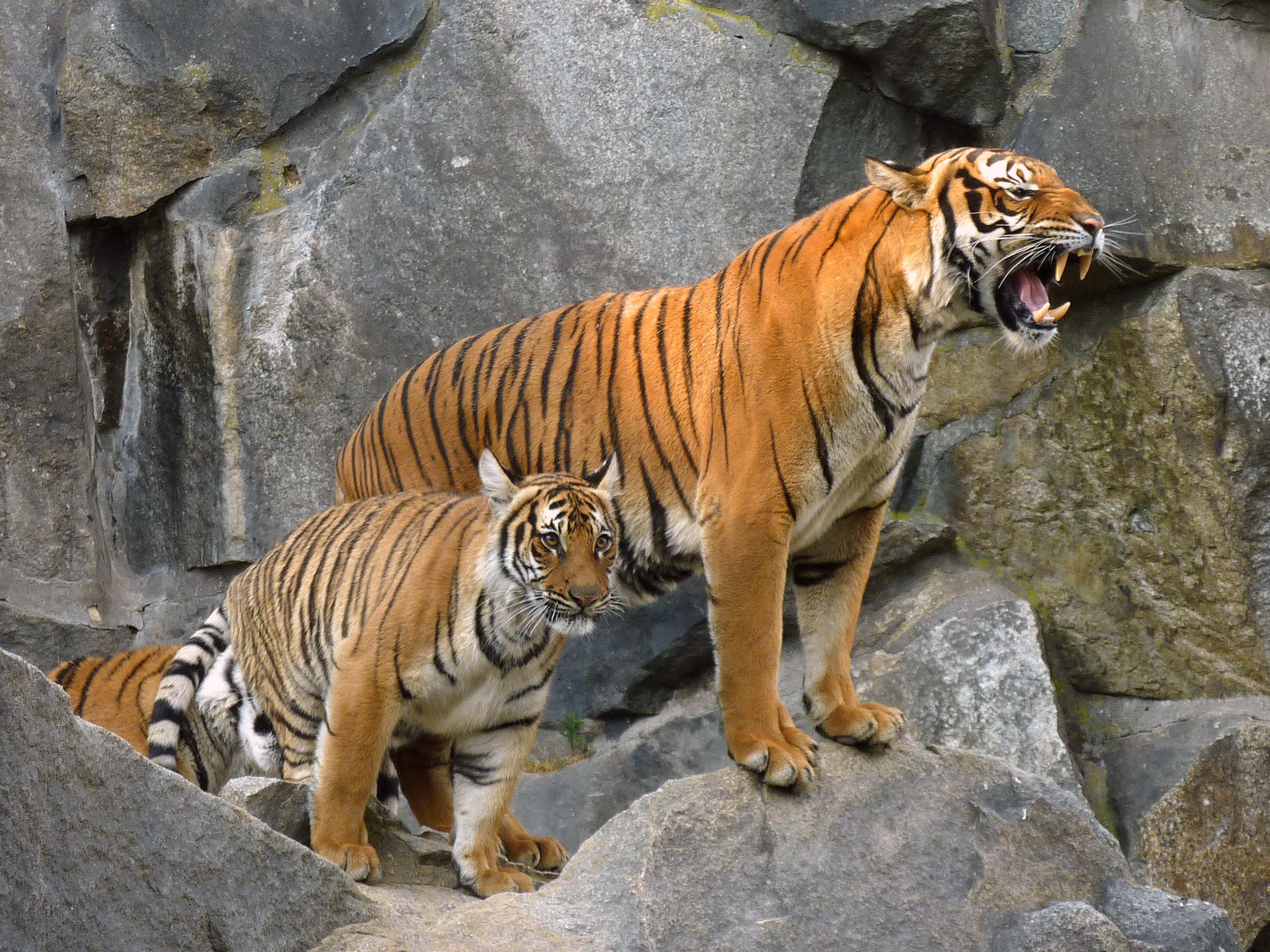 filepanthera tigris corbetti tierpark berlin 842724