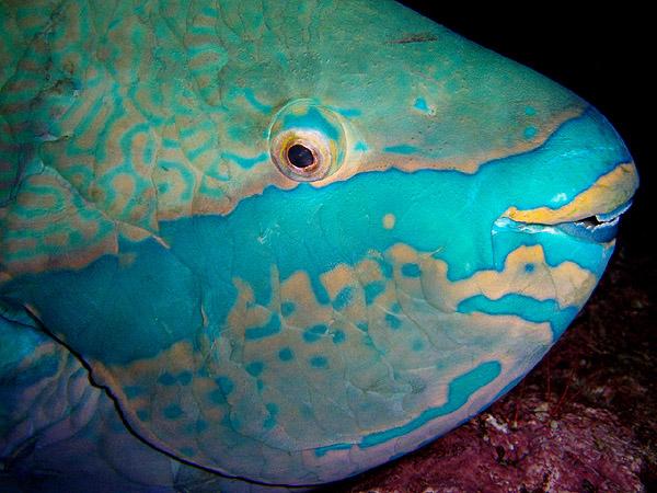 Parrot Fish by Gustavo Gerdel.jpg
