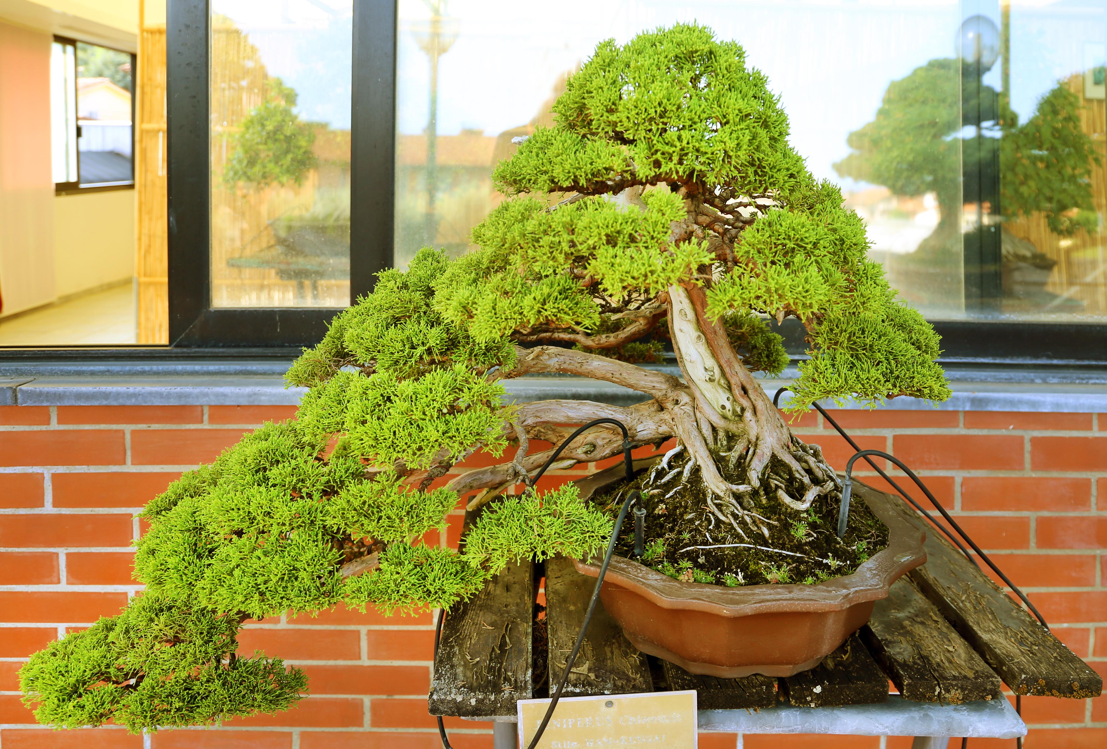 File Pescia Museo Del Bonsai Juniperus Chinensis Stile Han Kengai Semicascata Dal Giappone Circa 40 Anni 01 Jpg Wikimedia Commons