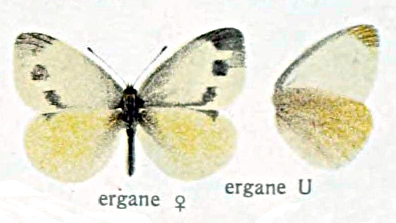 Pieris ergane - Wikipedia