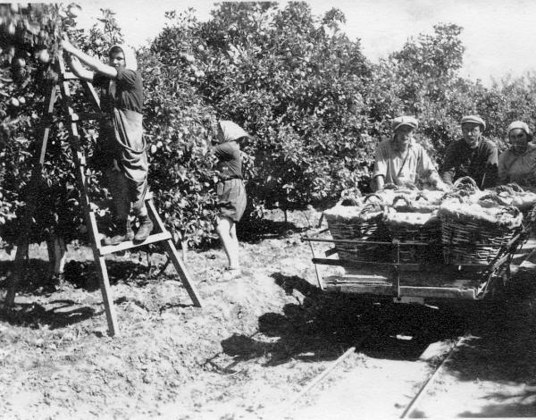 PikiWiki Israel 262 bs11- 23 גן-שמואל-קטיף תפוזים.jpg