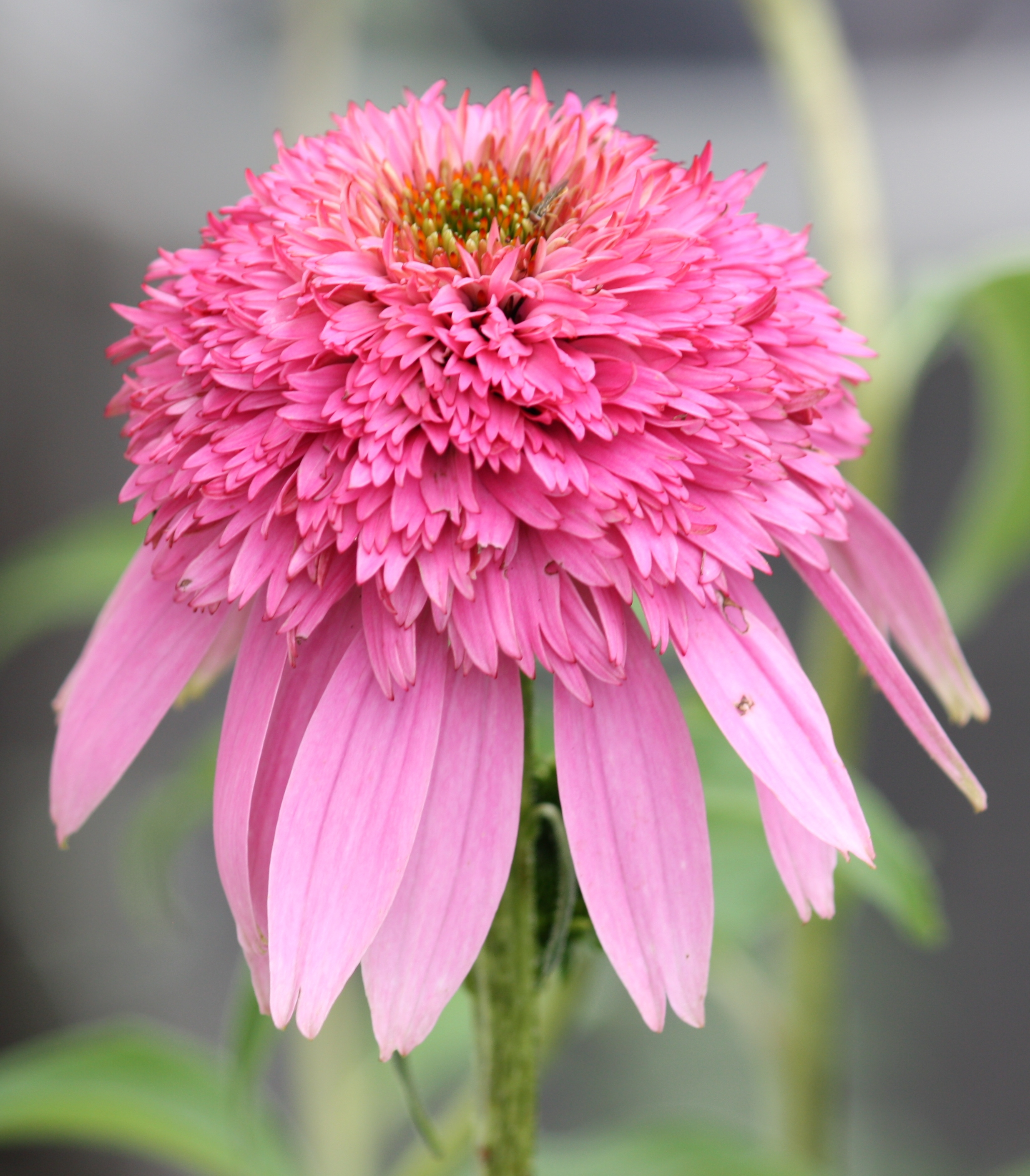 File Pink Double Delight Coneflower 001