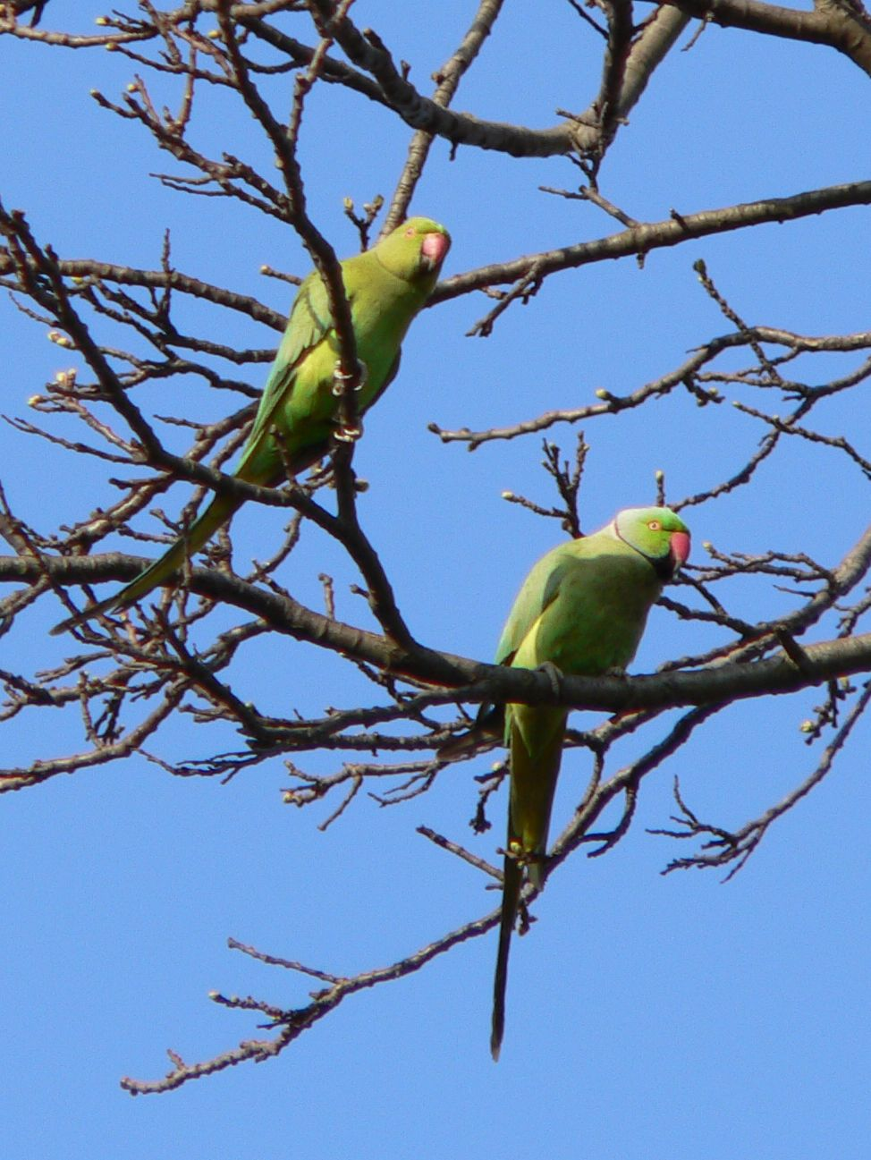 Feral parakeets in Great Britain - Wikipedia
