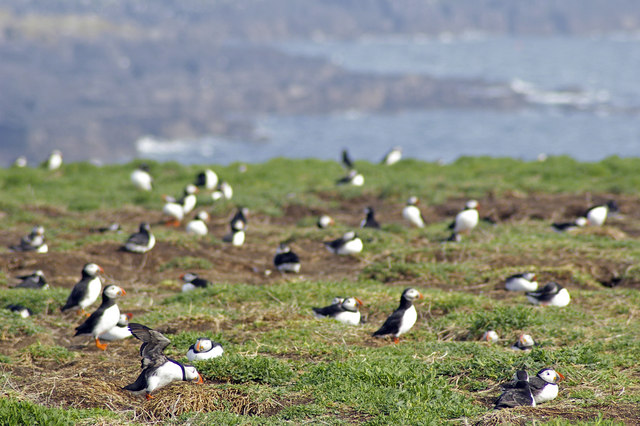 Puffins on Inner Farne - geograph.org.uk - 431994