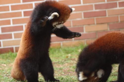 File:Re pandas playing of fighting.jpg - Wikimedia Commons