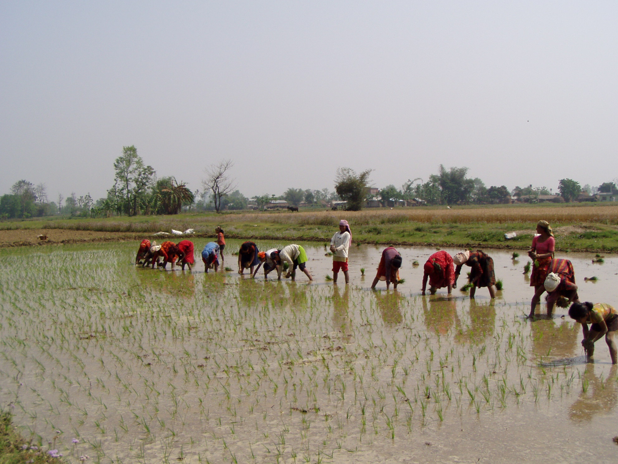 agriculture in nepal Agriculture is the main source of food, income, and employment for the majority the economy is dominated by agriculture agriculture has been the highest priority.