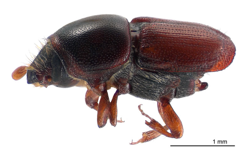 scolytus multistriatus wikipedia