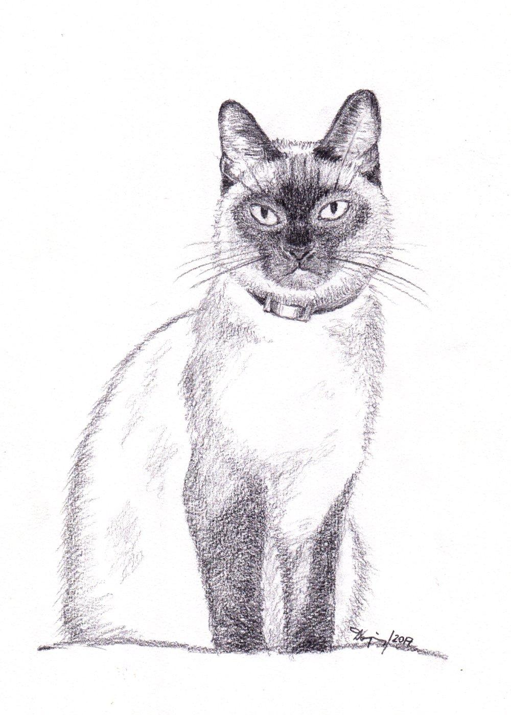 Filesiamese cat pencil drawing jpg wikimedia commons