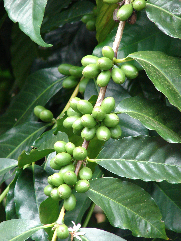K vovn k arabsk wikiwand for Coffea arabica