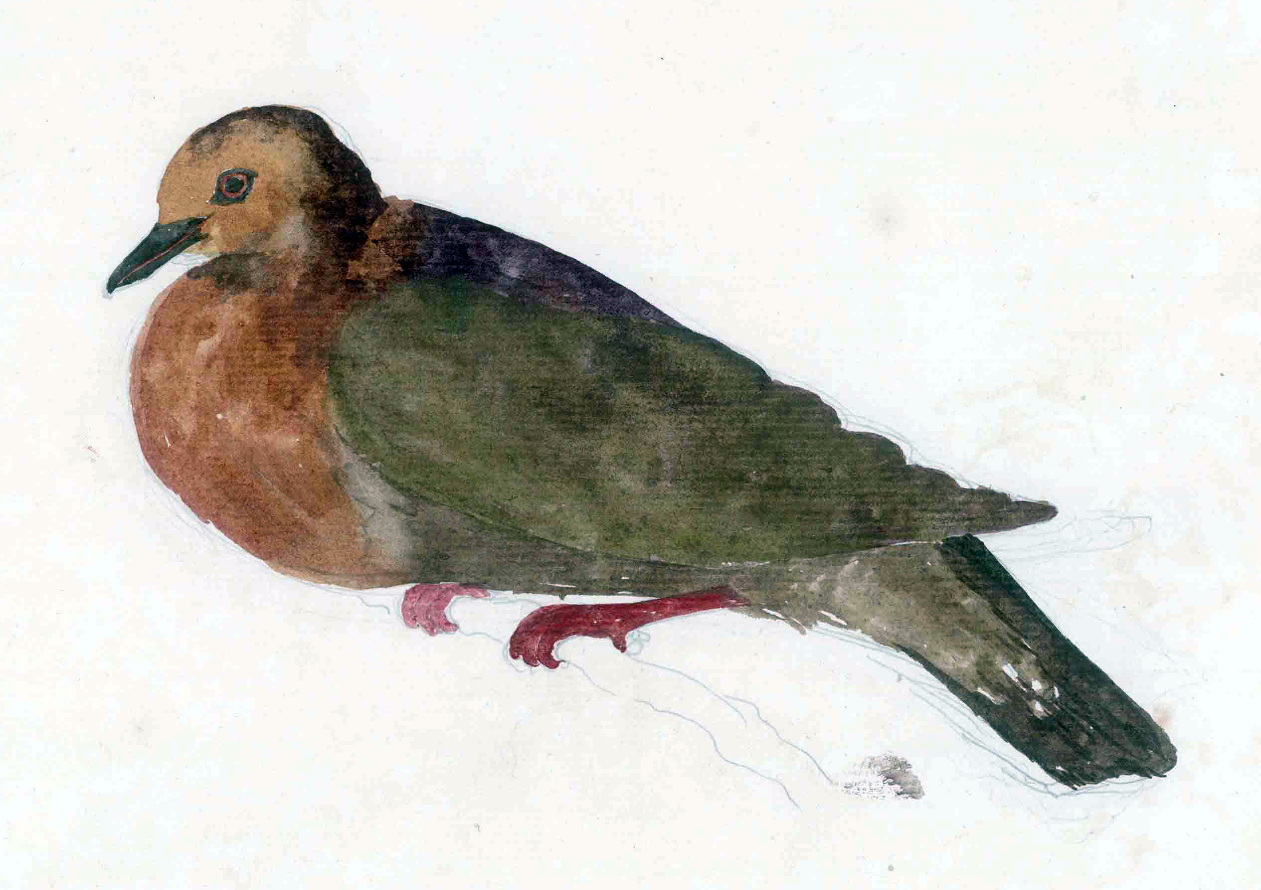 One of Forster's many illustrations of birds now extinct, the Tanna ground dove, also known as Forster's dove of Tanna TannaGroundDove.jpg