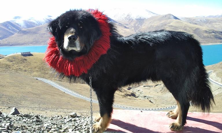Mastín Tibetano negro