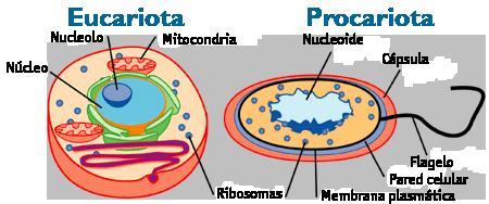 Comparación entre la célula eucariota animal y la procariota. En la célula procariota, la cápsula no siempre se presenta.