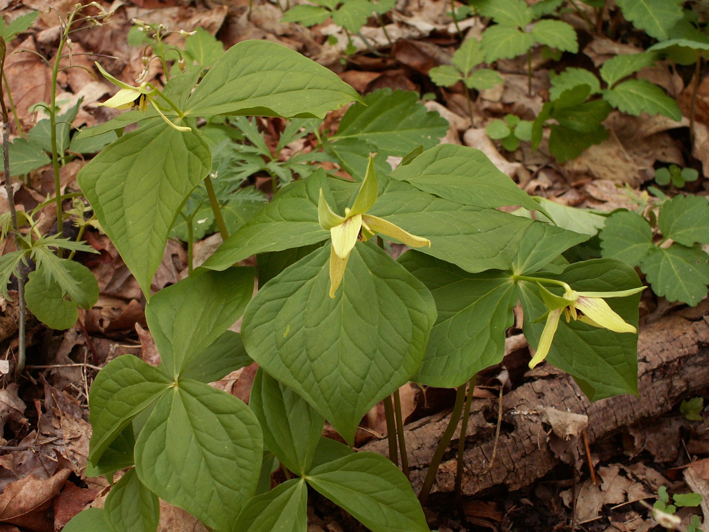 Wake Robin Trillium Erectum Yellow Form Flora Pittsburghensis