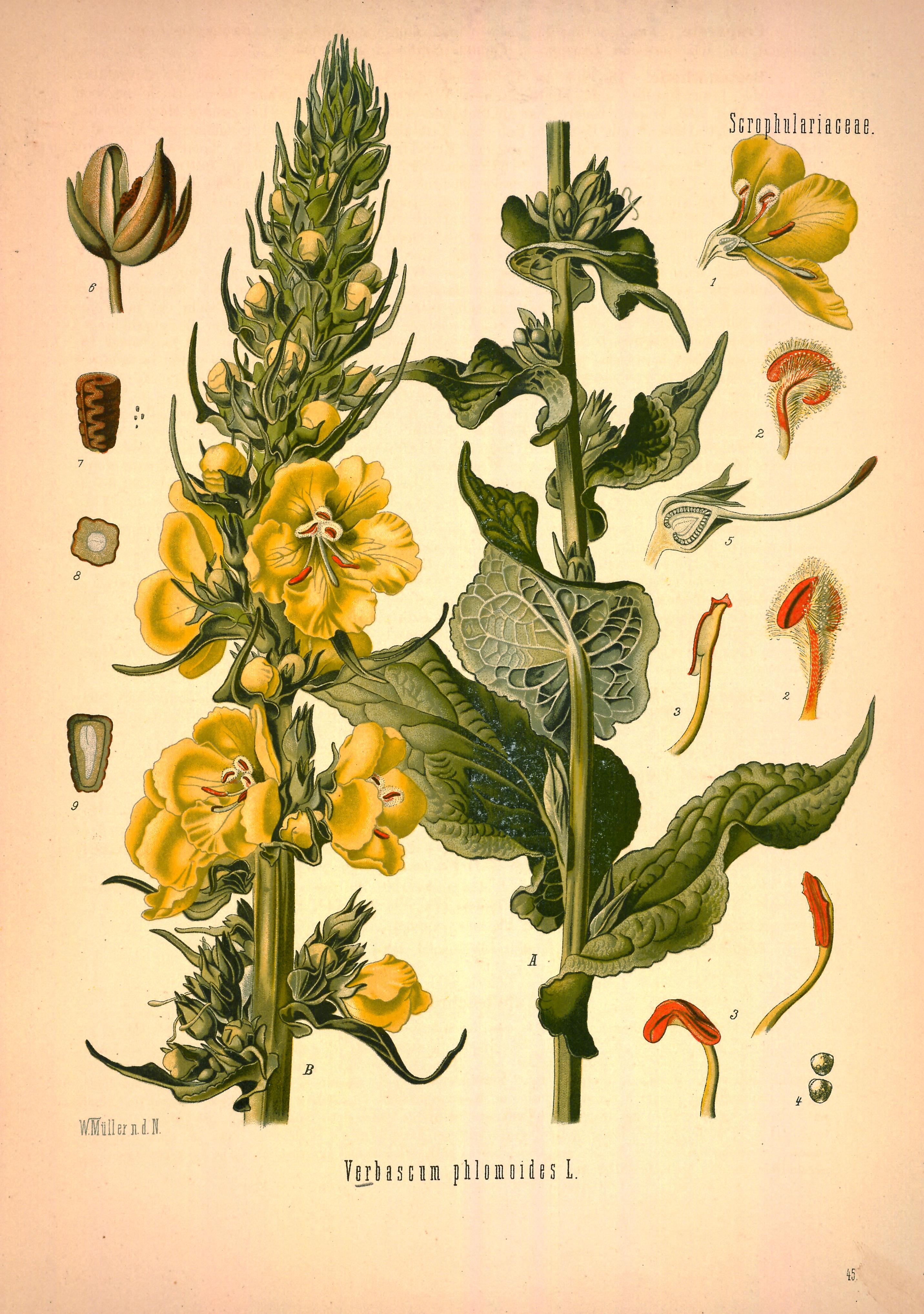 File Verbascum Phlomoides Köhler S Medizinal Pflanzen 144 0325 Png