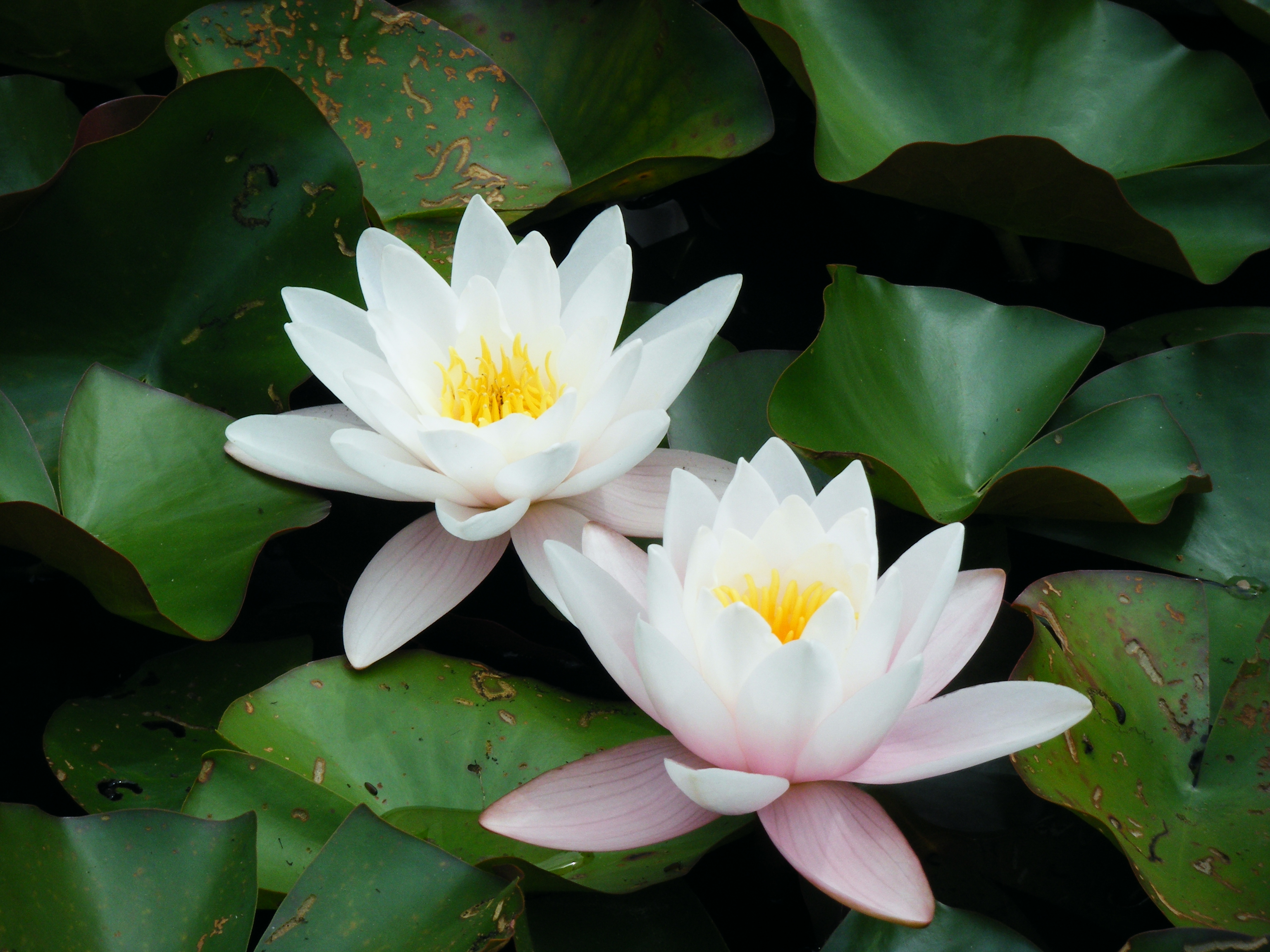 File 2 fleurs wikimedia commons - La fleur de lotus ...