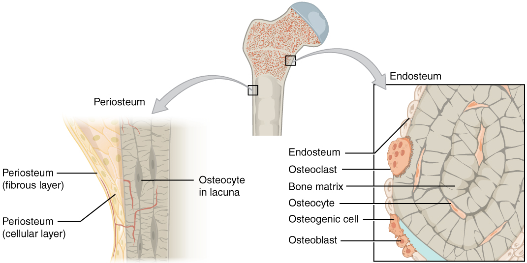 Periosteum - Wikipedia