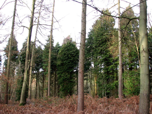 A stand of cypress trees - geograph.org.uk - 641903