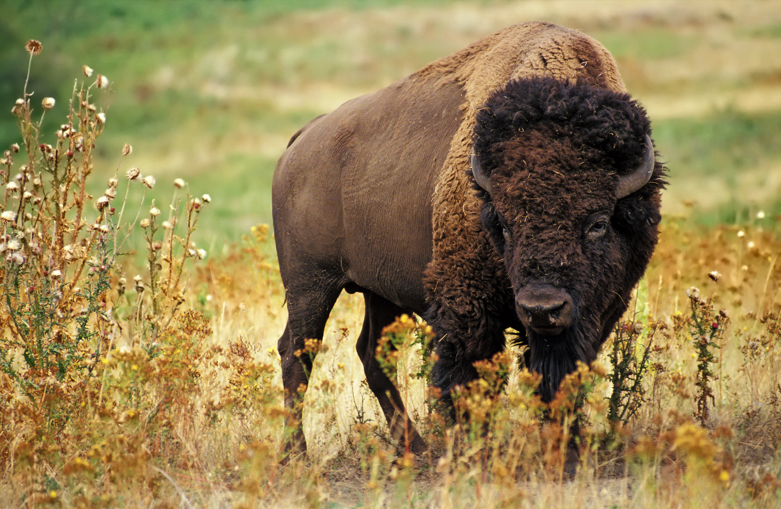 https://upload.wikimedia.org/wikipedia/commons/8/89/American_bison_k5680-1_edit.jpg