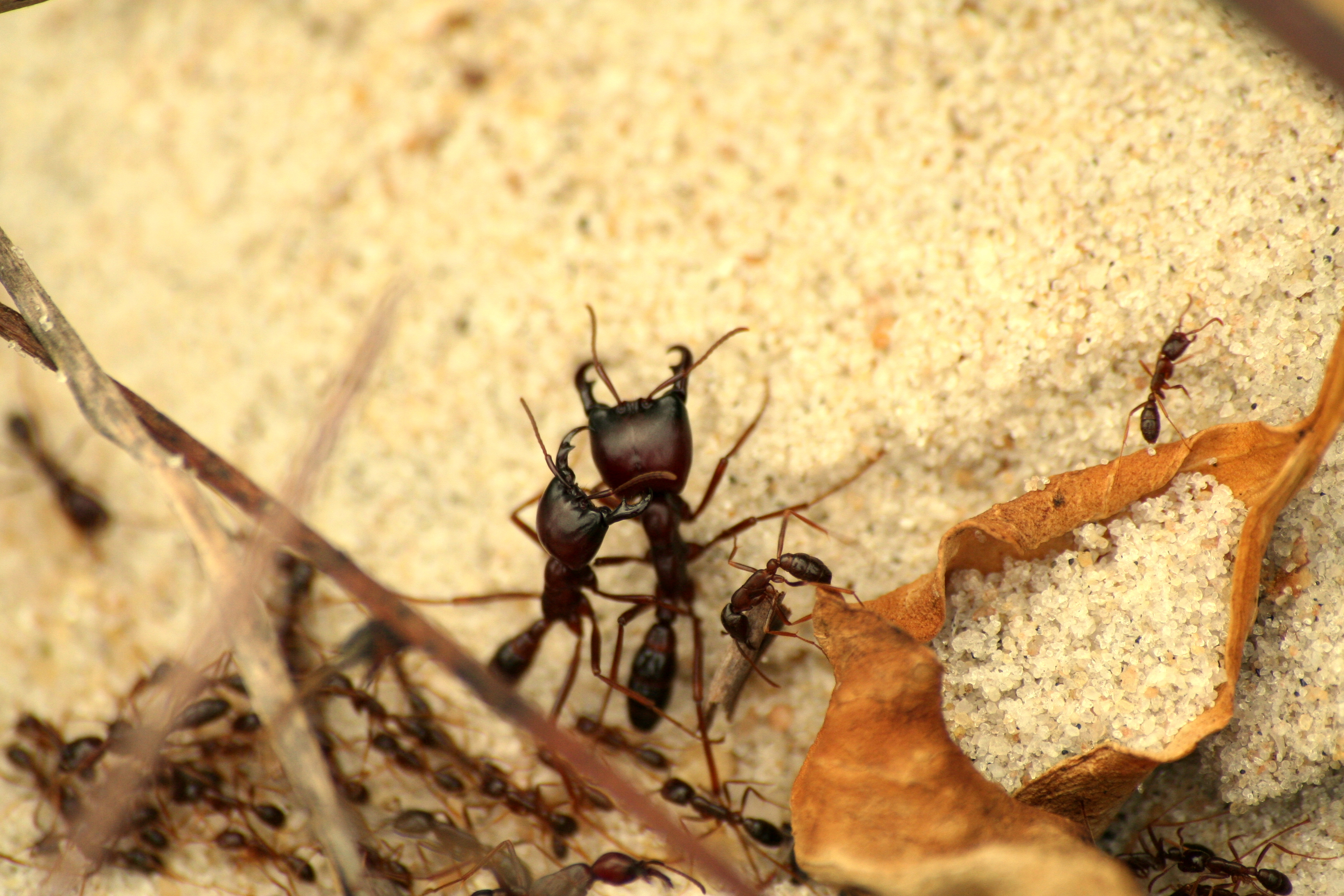 File:Army ant warriors - Gabon.jpg - Wikimedia Commons
