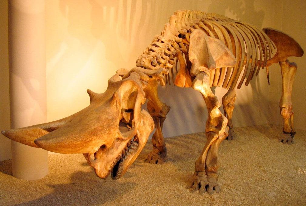 Arsinoitherium - Wikipedia - 167.5KB