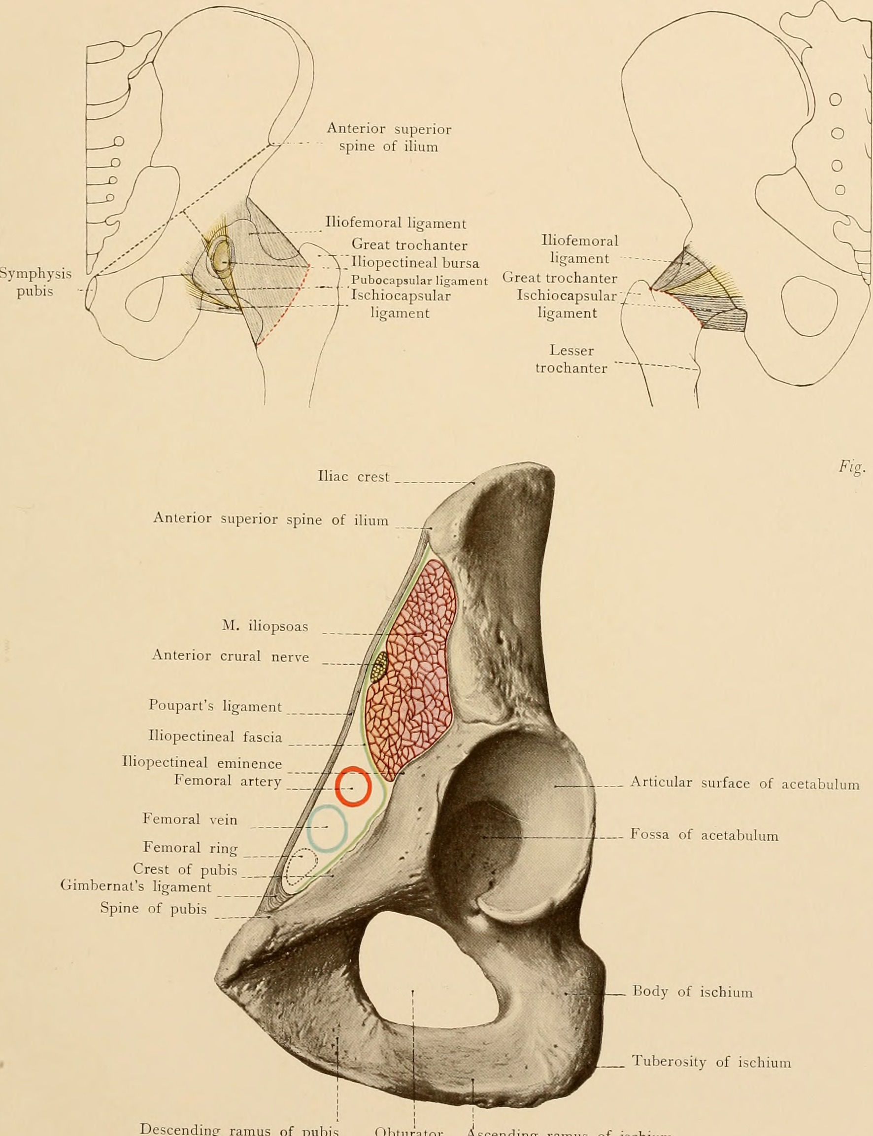 Fileatlas And Text Book Of Topographic And Applied Anatomy 1905