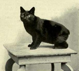 Black Manx cat Black Manx cat.JPG