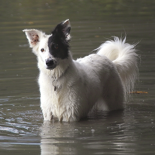 Top File:Border Collie Mix.png - Wikipedia &OC54