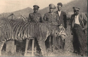 Tiger killed in northern Iran, early 1940s Caspian tiger, north iran.jpg