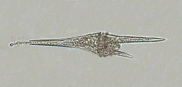 Ceratium furca