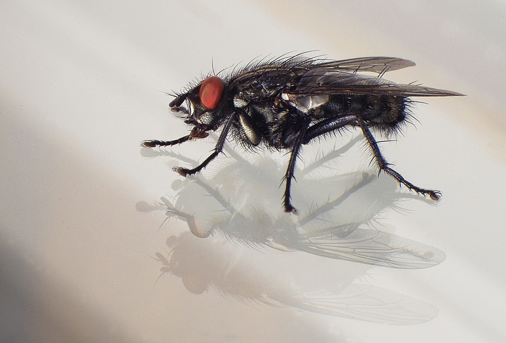 http://upload.wikimedia.org/wikipedia/commons/8/89/Closeup_black_fly.jpg