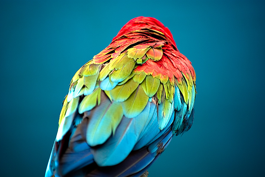 File:Colored Feathers (3740308199).jpg - Wikimedia Commons