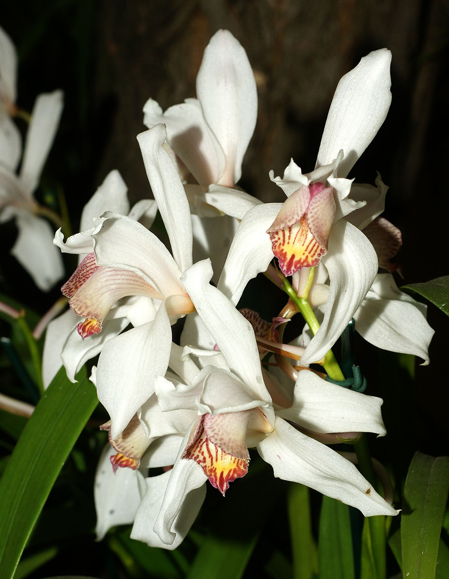 http://upload.wikimedia.org/wikipedia/commons/8/89/Cymbidium_erythrostylum_Orchi_027.jpg