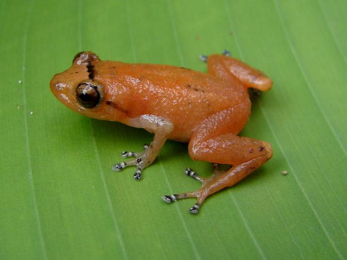Four new species of dink frogs.