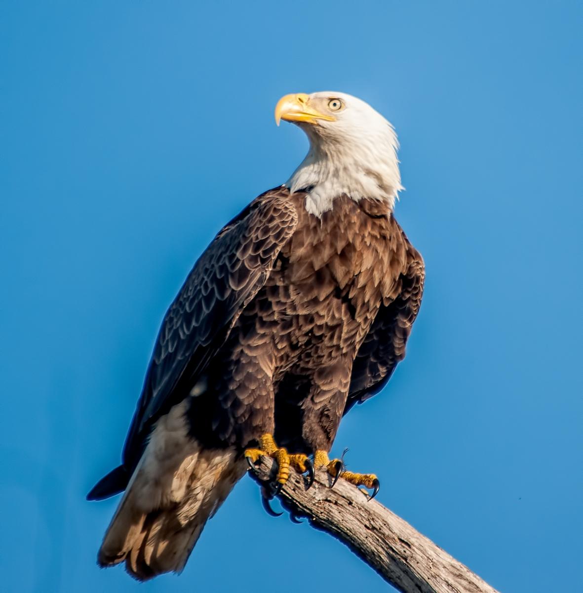 File:Eagle looking left.jpg - Wikimedia Commons