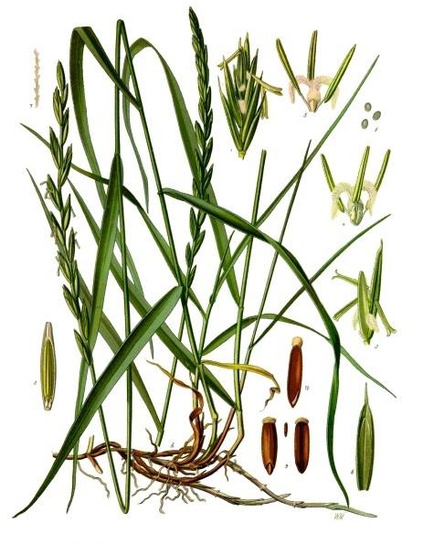 Elytrigia repens - Köhler–s Medizinal-Pflanzen-203