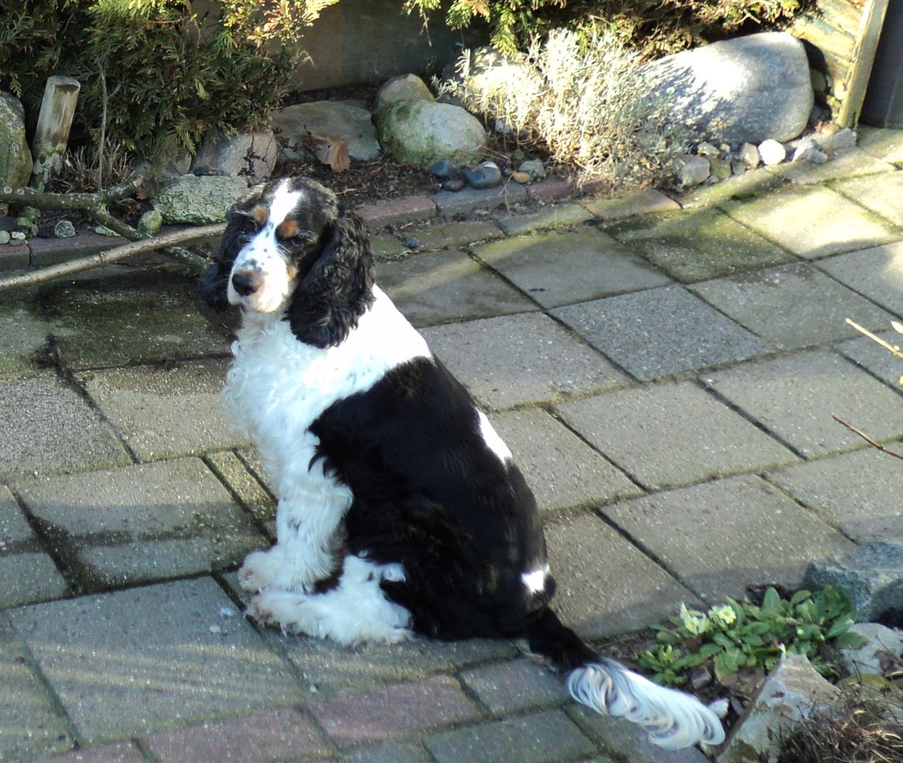 cocker spaniel tricolor file english cocker tricolor jpg wikimedia commons 6033