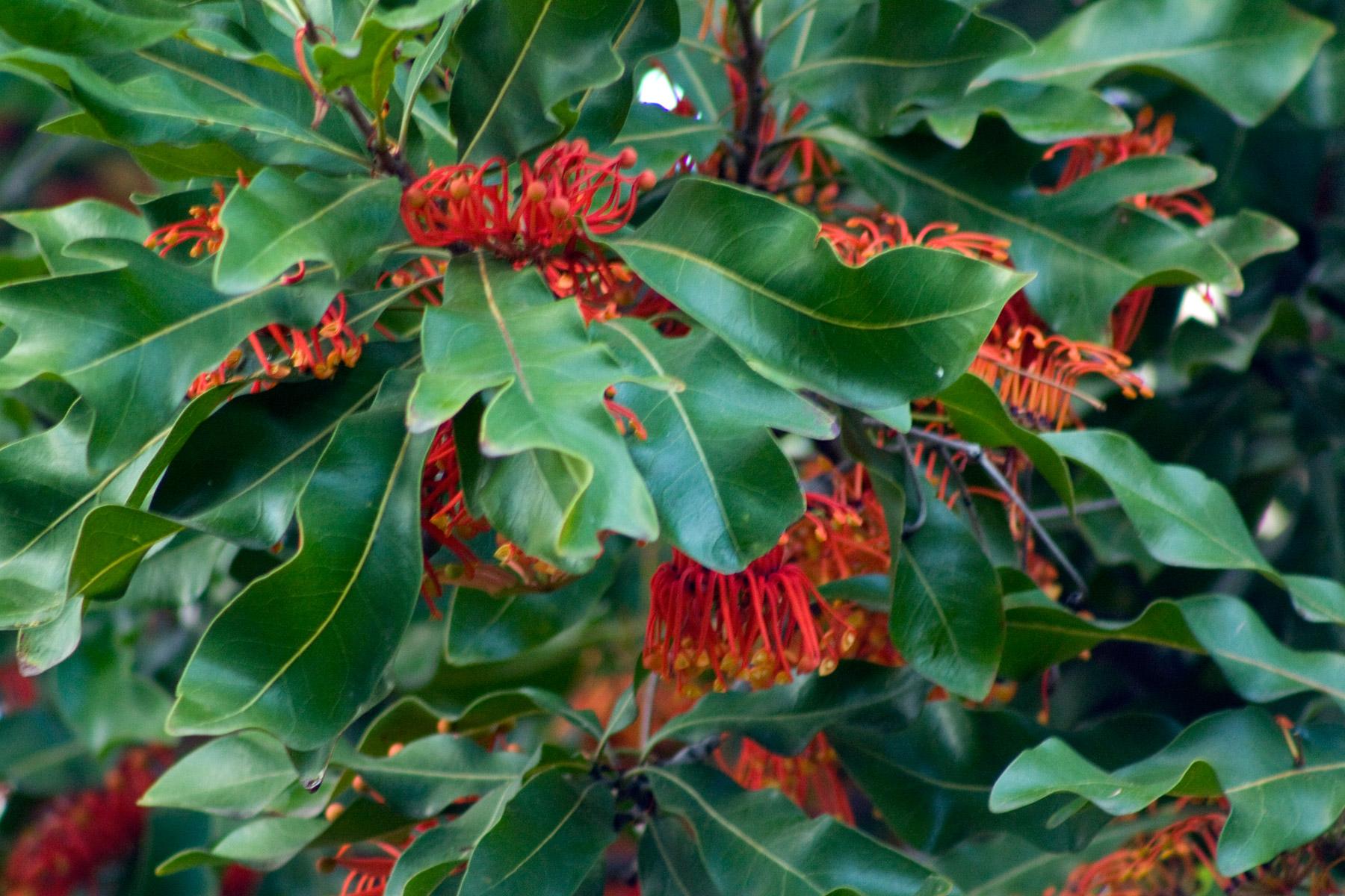 Small Car File Firewheel Tree Stenocarpus Sinuatus Parliament