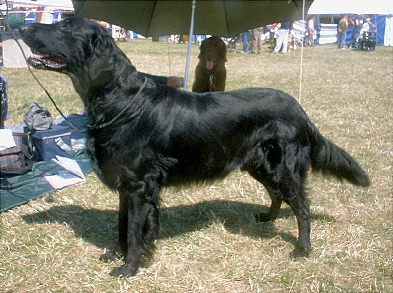 Flat Coated Retriever Dogs For Sale