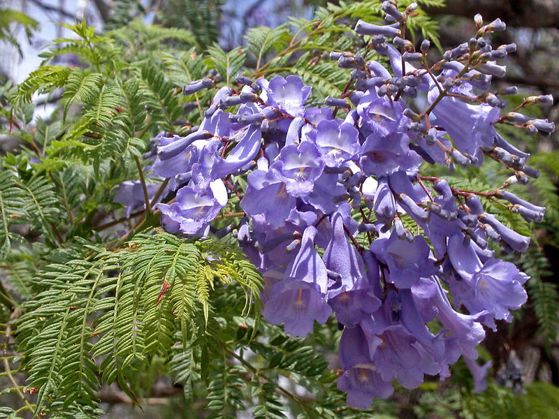 fleurs de jacaranda bleu