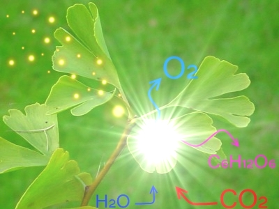 quantum in Photosynthesis