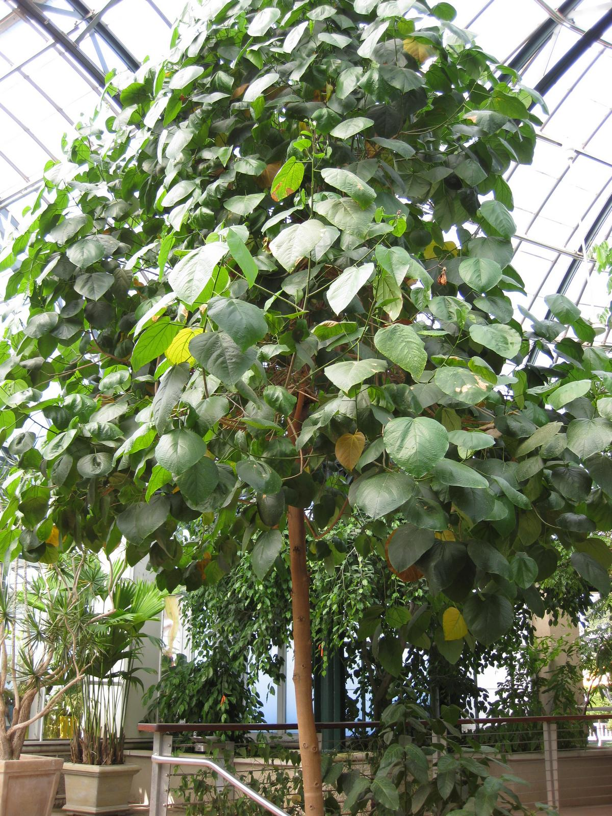 Thespesia grandiflora- a WOW Hibiscus tree! - TROPICAL LOOKING ...