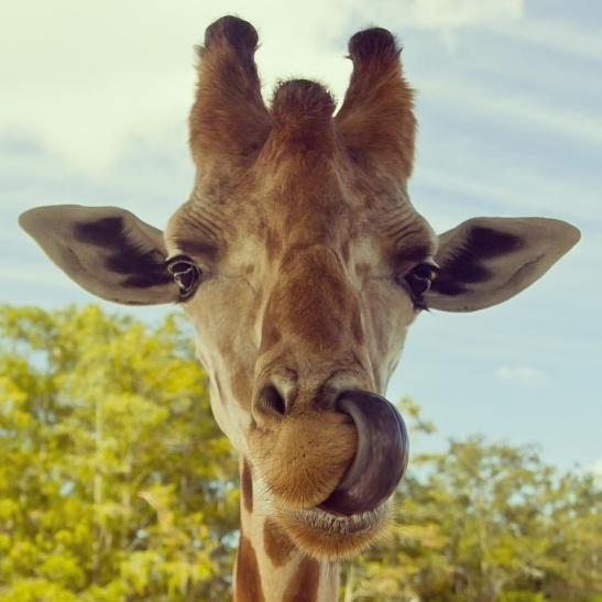Giraffe tongue - photo#13
